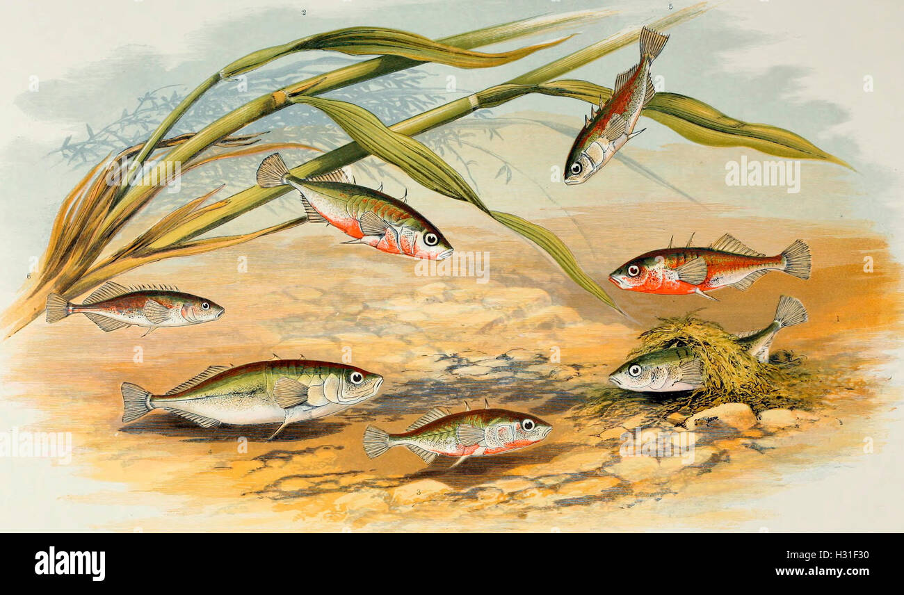Sticklebacks - Rough-tailed, half-armed, smooth-tailed, short-spined, four-spined, ten-spined - Stock Image