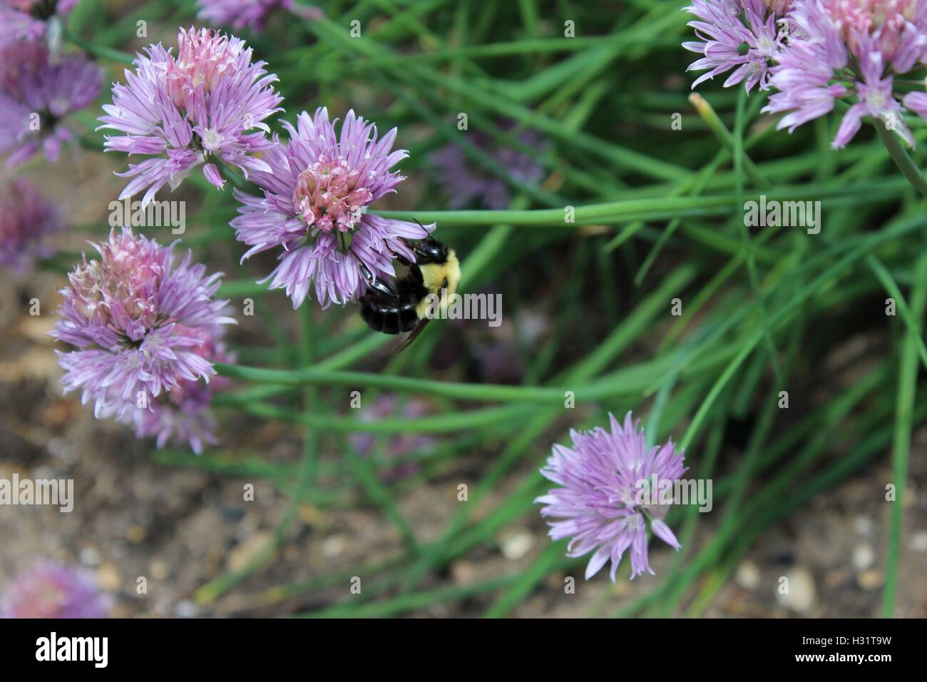 Bumble Bee on a Chive Blossom - Stock Image