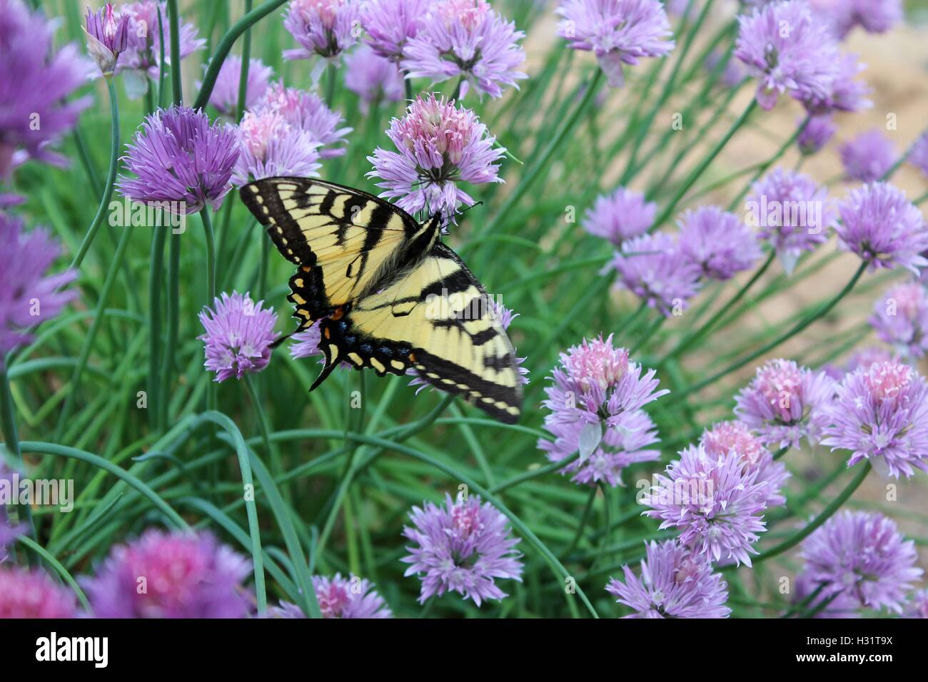 North Eastern Tiger Swallowtail Butterfly on Chive Blossoms - Stock Image