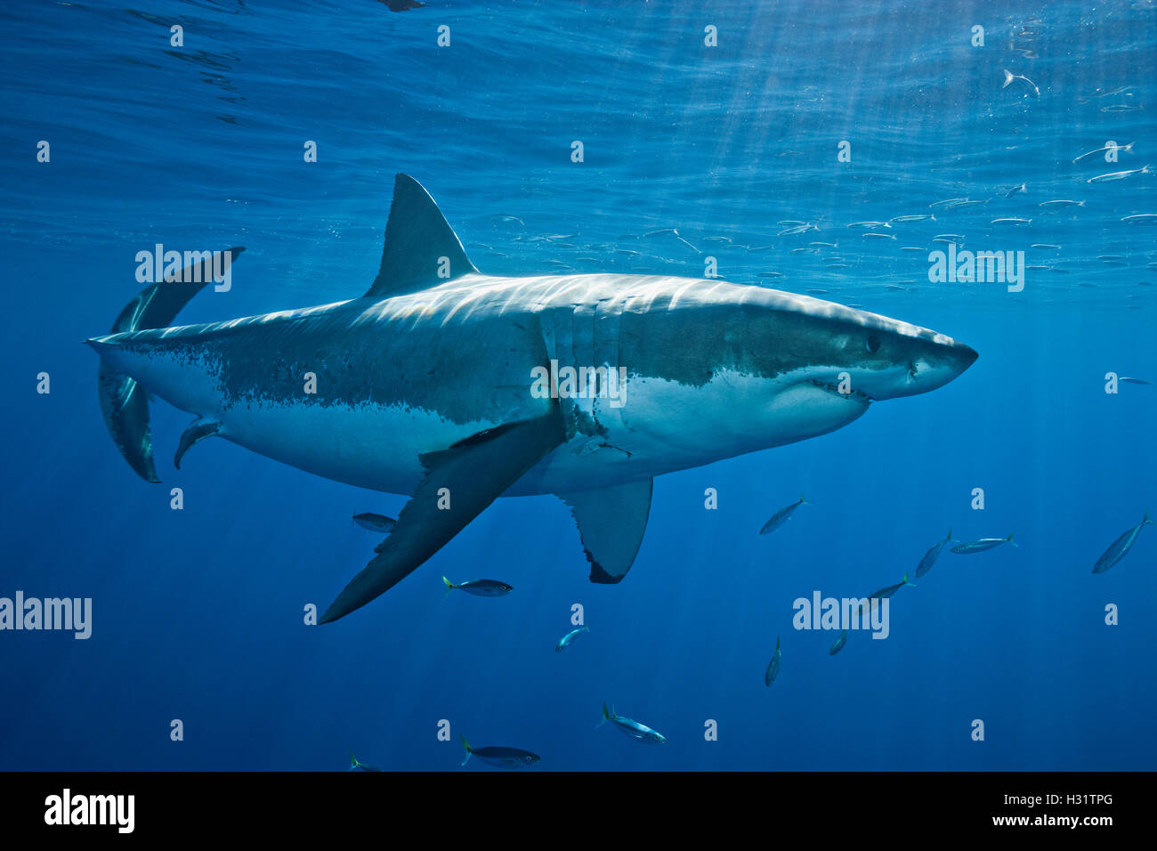Great White Shark (Carcharodon carcharias), one of the largest elasmobranch species, and certainly among the most - Stock Image