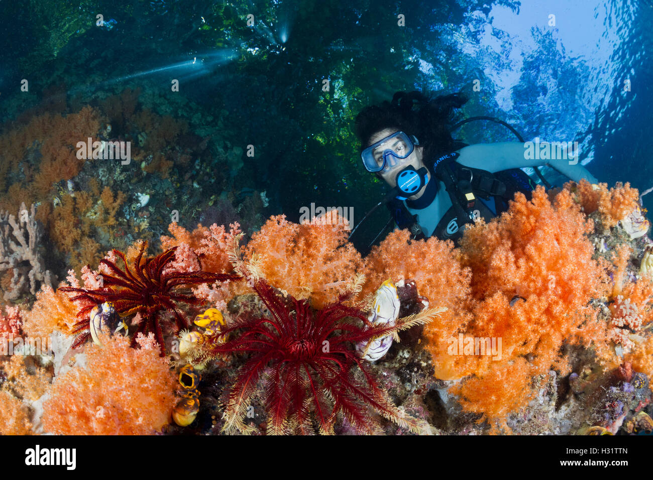scuba diver (model released) admires soft corals (Dendronephthya sp.) in current swept passage. tropical Indo-Pacific - Stock Image