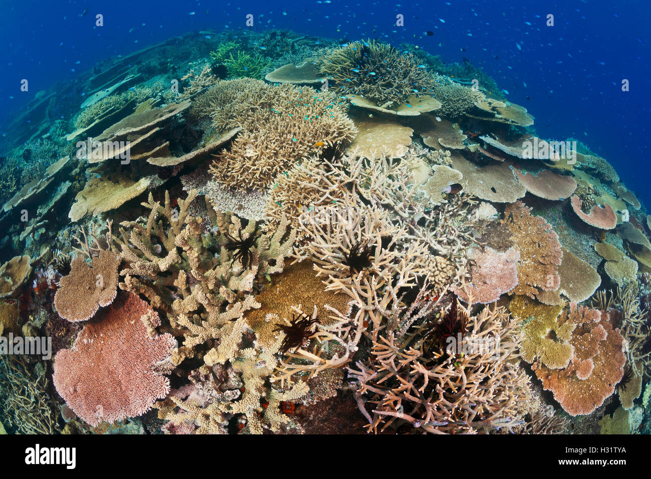 QZ0828-D. Healthy coral reef with impressive hard coral species diversity and coverage. Australia, Great Barrier - Stock Image
