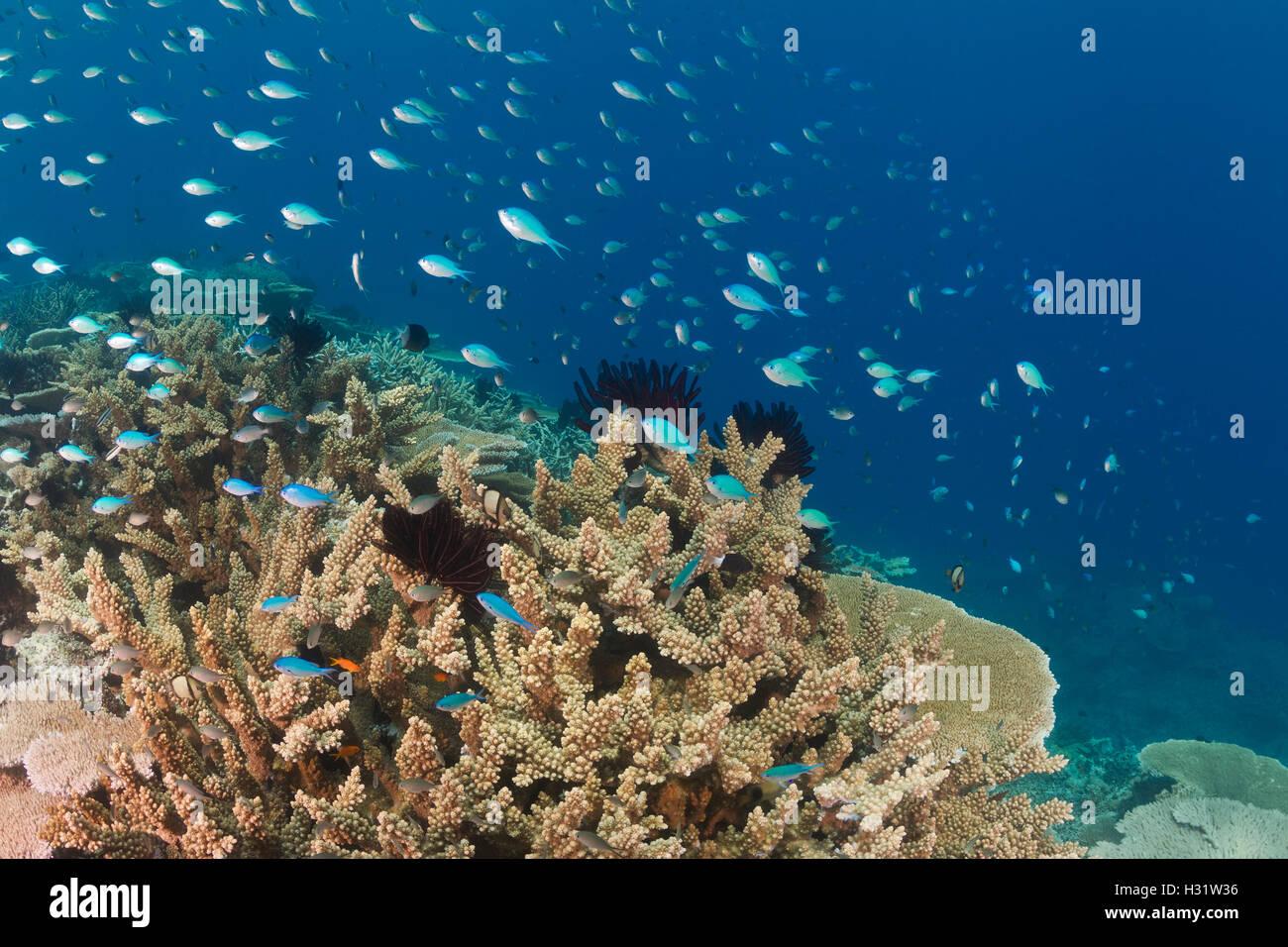 QZ51971-D. Blue-green Chromis (Chromis viridis) and Black-Axil Chromis (Chromis atripectoralis) stream overtop healthy - Stock Image