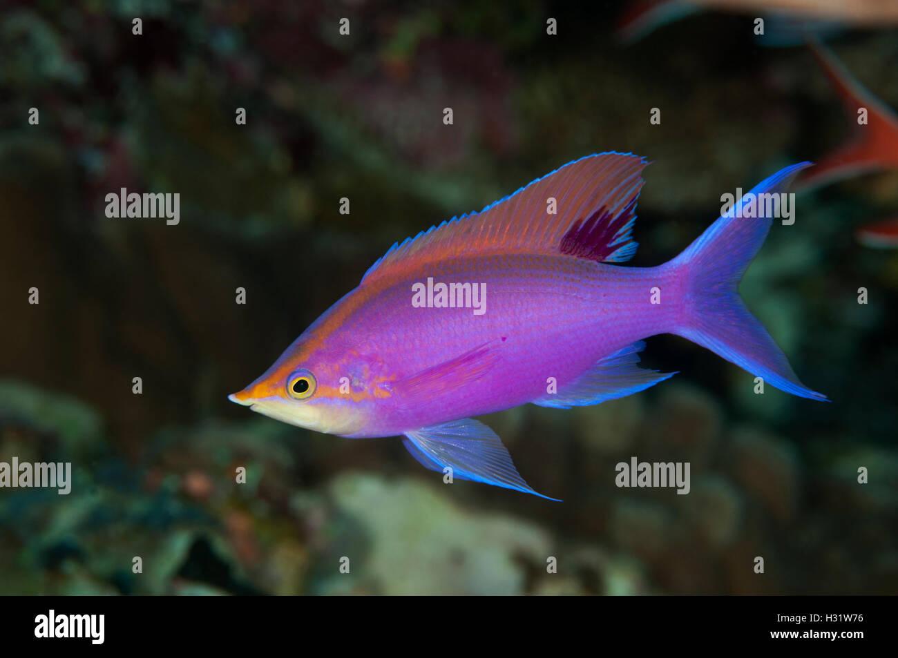 QZ73807-D. Purple Anthias (Pseudanthias tuka), male. Australia, Great Barrier Reef, Pacific Ocean. Photo Copyright Stock Photo