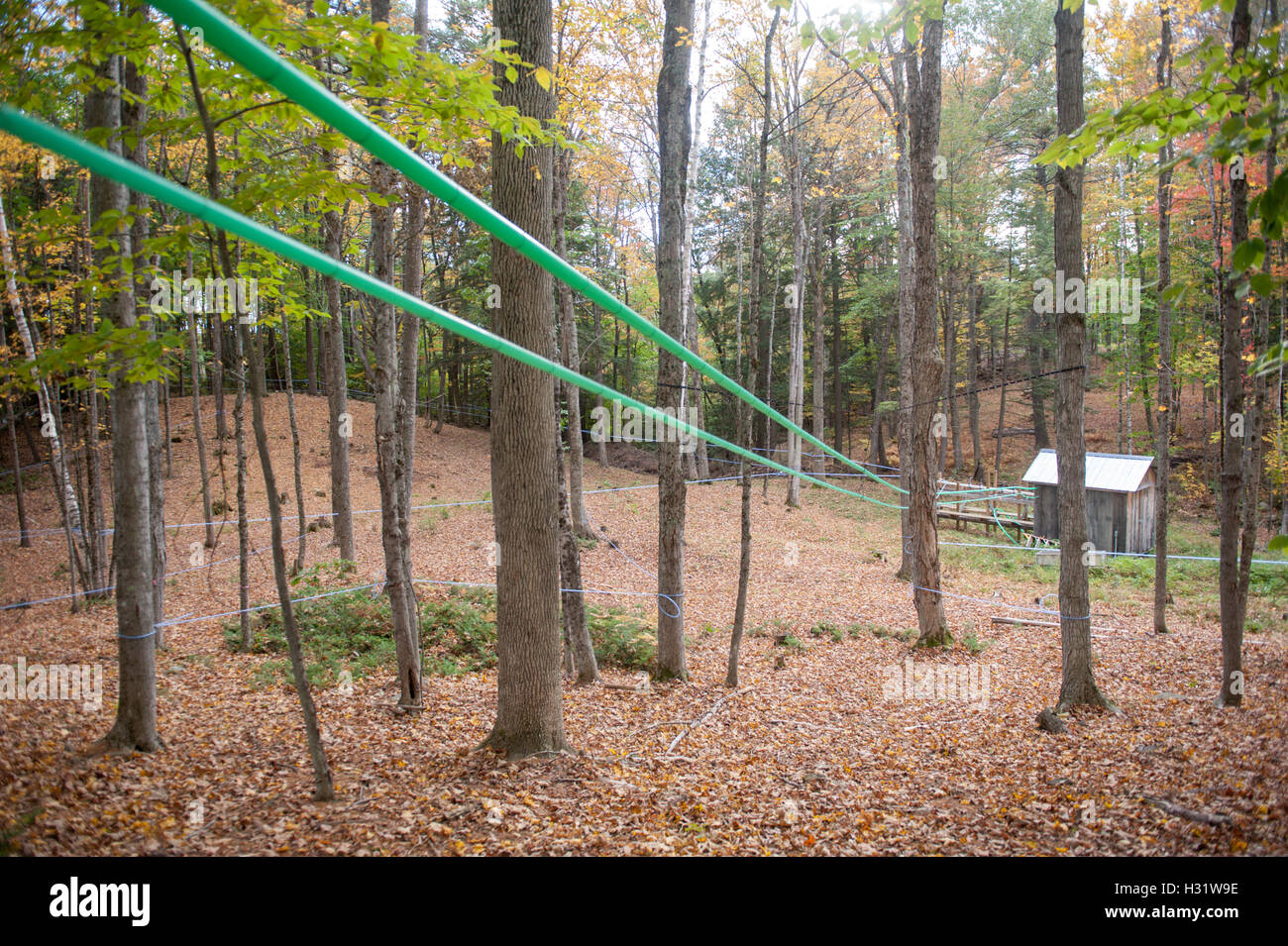Taps set up in maple trees using plastic tubing to collect sap for maple syrup in Gorham, Maine. - Stock Image