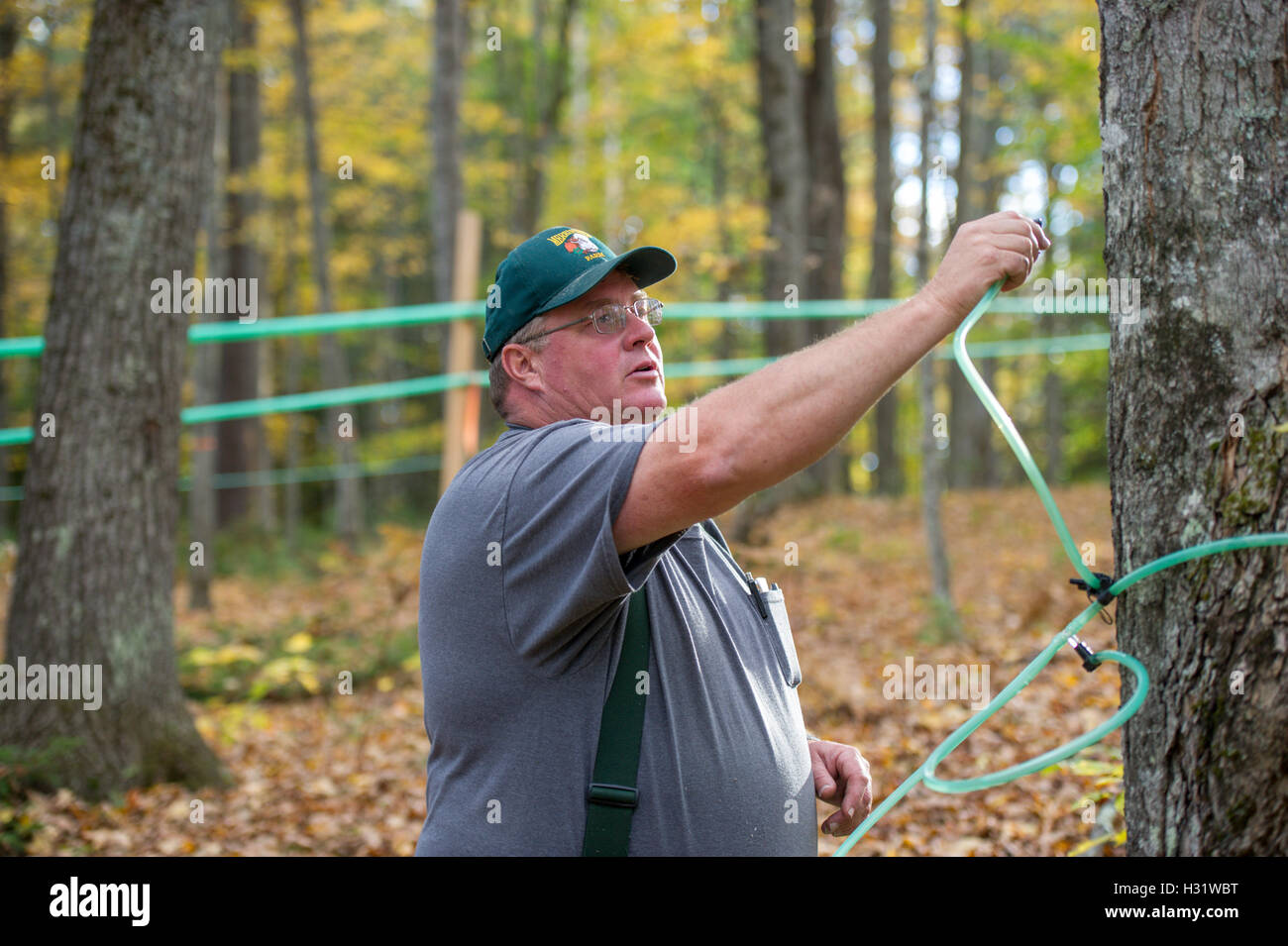 Man setting up tubes to tap maple trees to make maple syrup in Gorham, Maine. - Stock Image