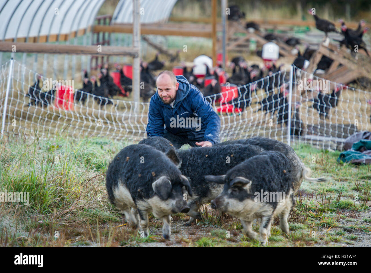 Mangalica Pigs with a farmer in Freeport, Maine. - Stock Image