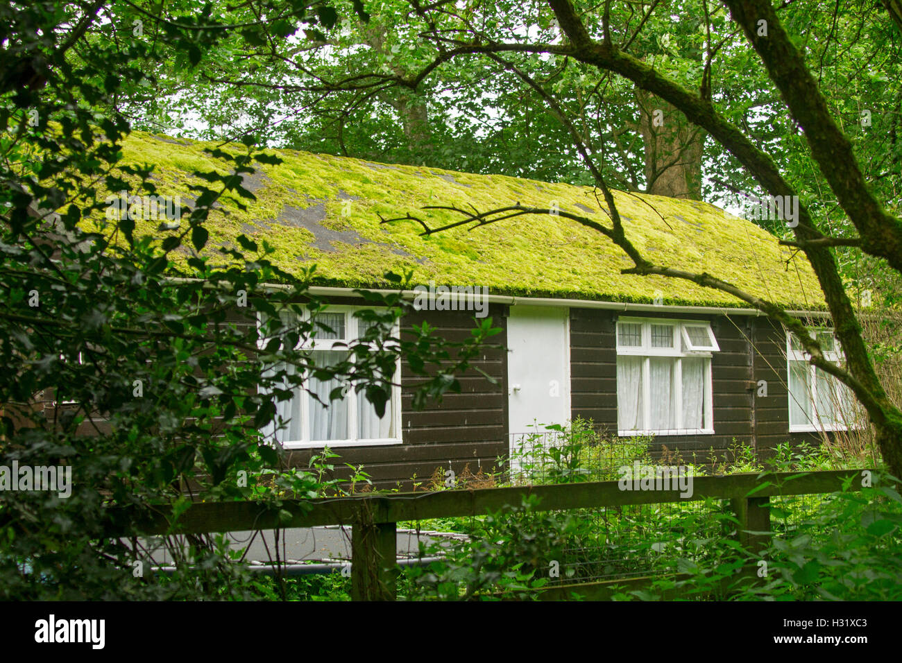 Emerald green moss growing on and covering entire roof of brown timber building in damp shady woodlands in England - Stock Image