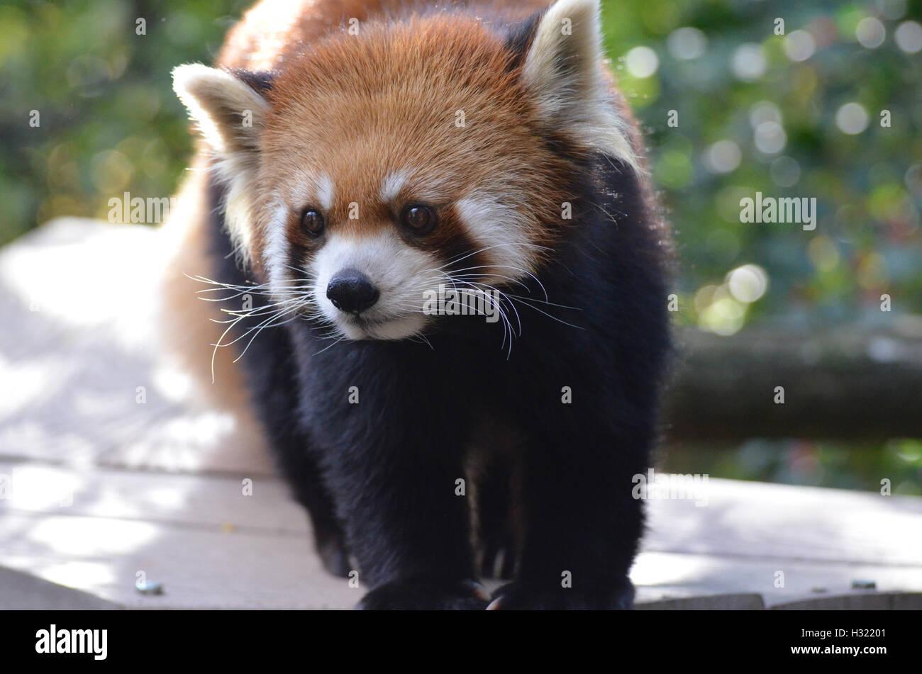 Beautiful curious face of a red panda bear. Stock Photo