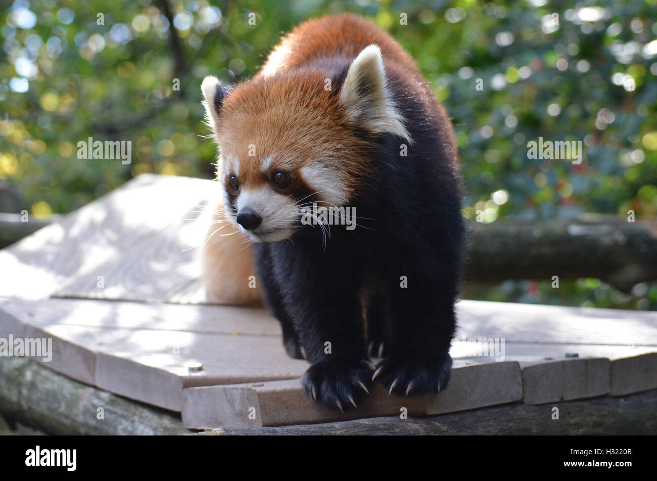 Cute lesser panda bear with very long claws. - Stock Image