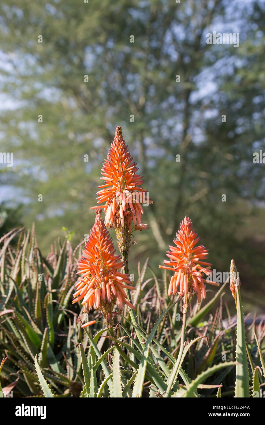 Red Orange Aloe plants flowering in South Africa where clusters of yellow, orange or red tubular flowers, angle downwards Stock Photo