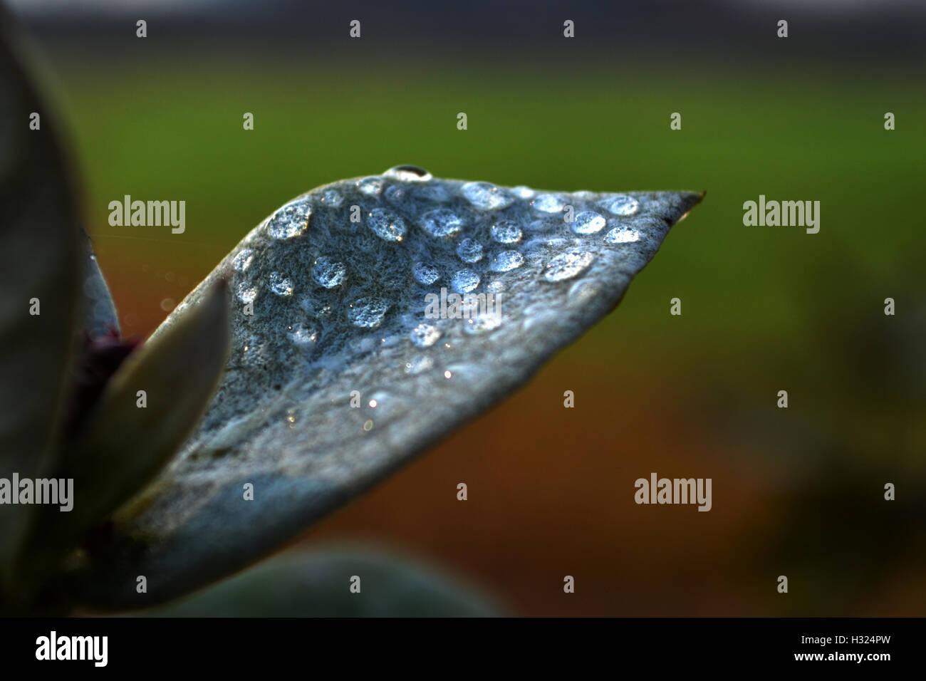 Milkweed leaf with dewdrops - Stock Image