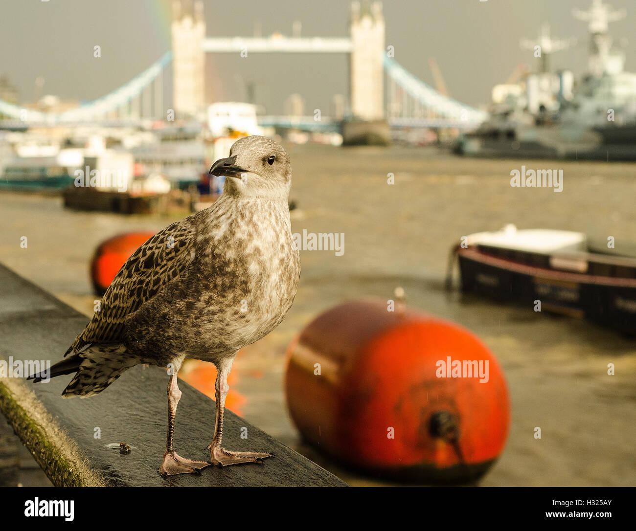 Seagull, Thames River, London - Stock Image