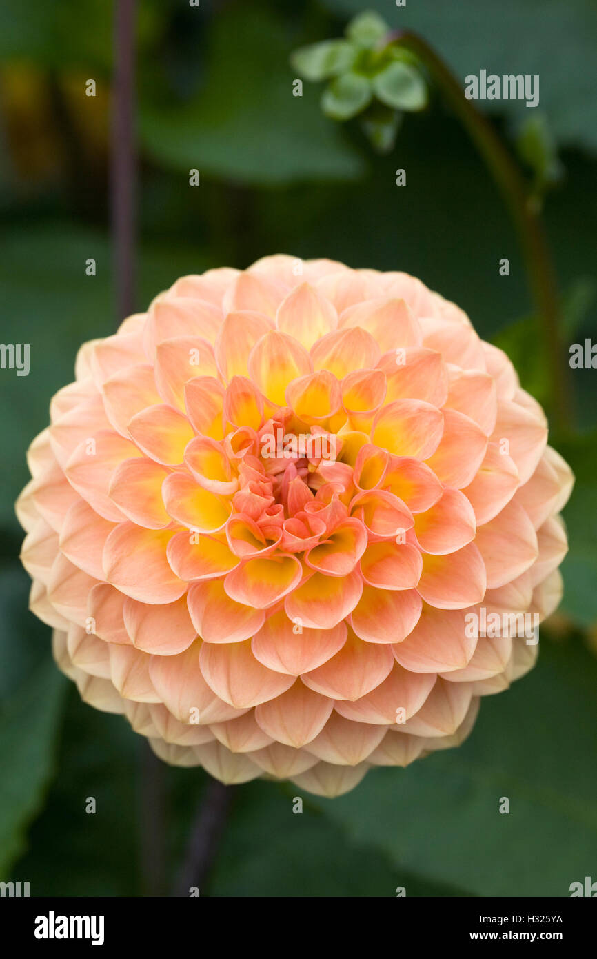 Dahlia 'Blyton Softer Gleam' growing in an herbaceous border. - Stock Image