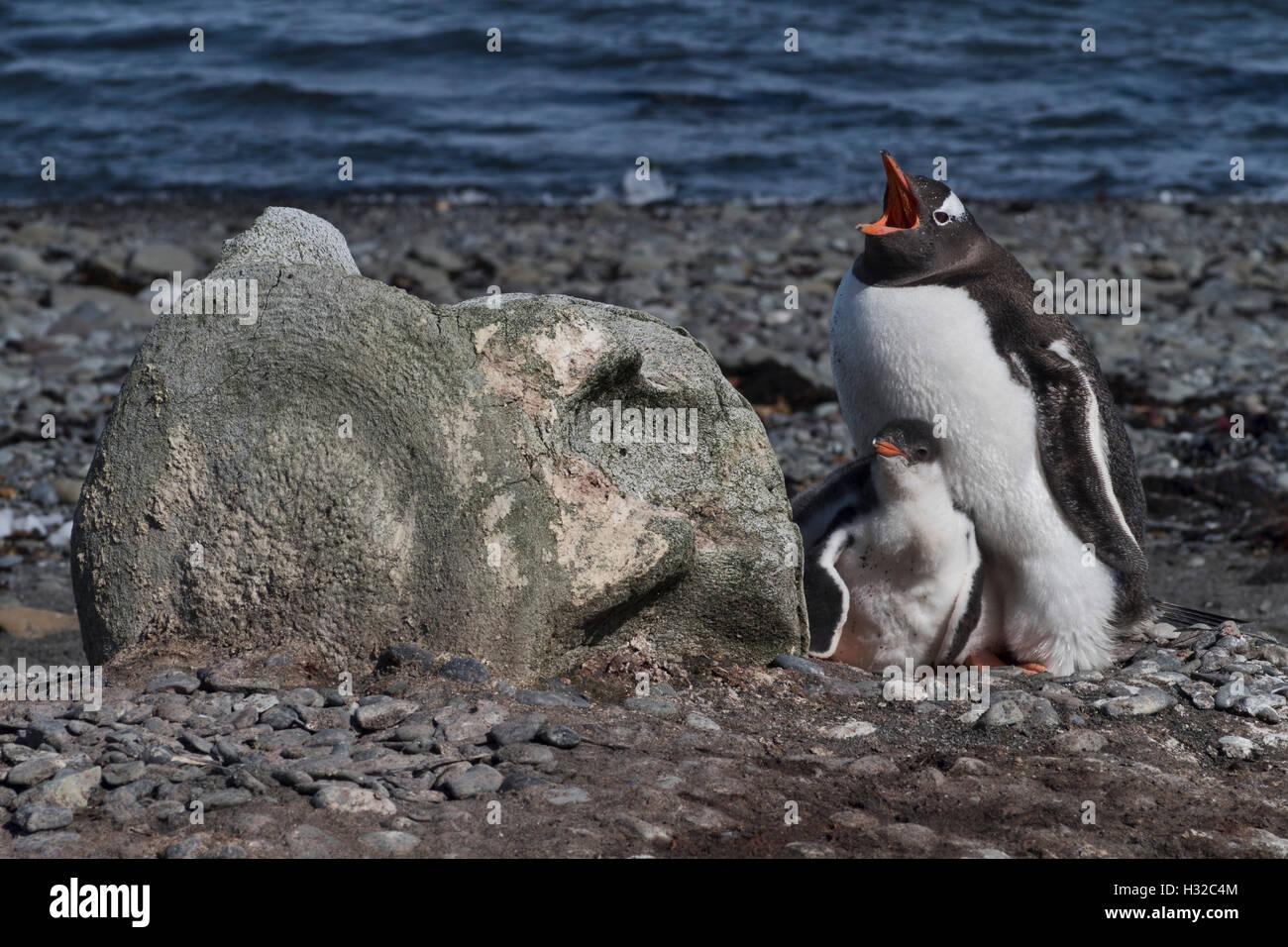 Gentoo Penguin nesting in shelter of whale vertebra - Stock Image