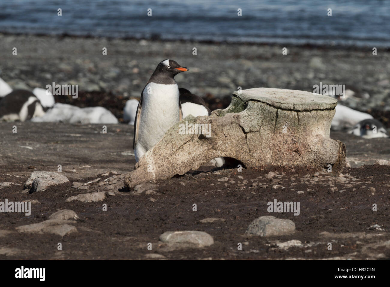 Gentoo Penguin by Whale vertebra - Stock Image