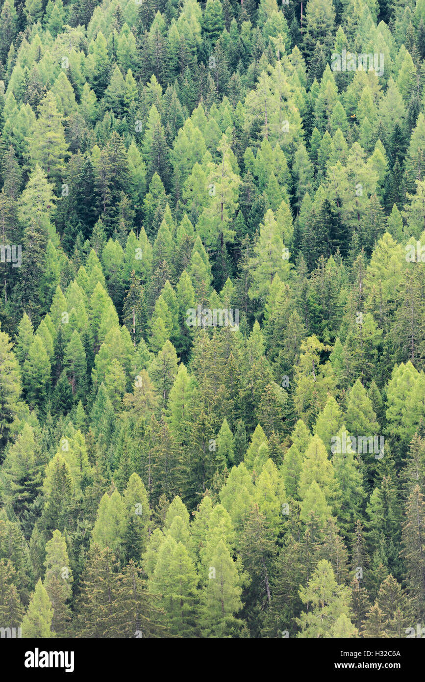 Variety of different dark and light shades of green coloured treetops of a deep alpine forest in Switzerland (Valais) Stock Photo