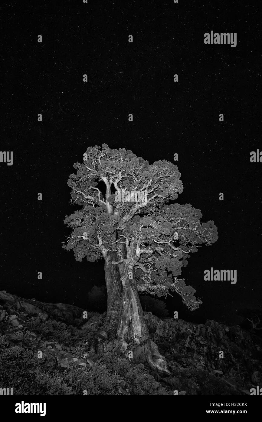Sierra Juniper, Juniper occidentalis var australis, tree at night near Tamarack Lake in the Desolation Wilderness, - Stock Image