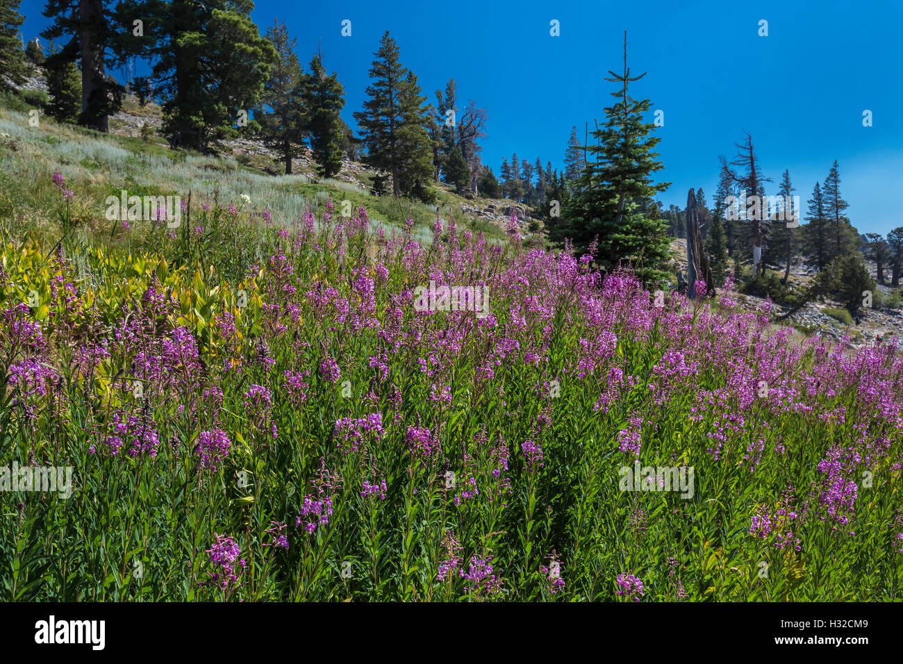 Fireweed, Chamerion angustifolium, blooming in a subalpine meadow in the Desolation Wilderness, California, USA - Stock Image