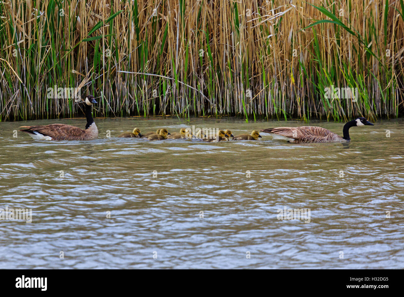 A family of Canada Geese (Branta canadensis) swims up the main channel of the Bear River Migratory Bird Refuge near Stock Photo
