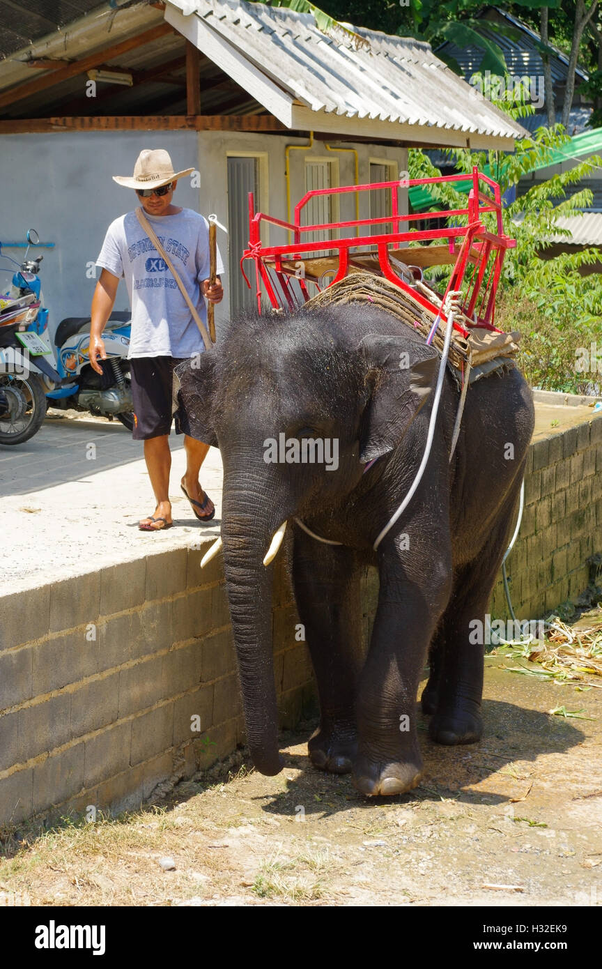 PHUKET, THAILAND - MARCH 28, 2016: baby elephant during washing at a hot day. - Stock Image
