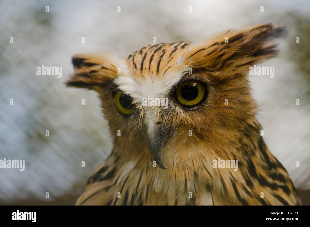 Buffy Fish-Owl Stock Photo