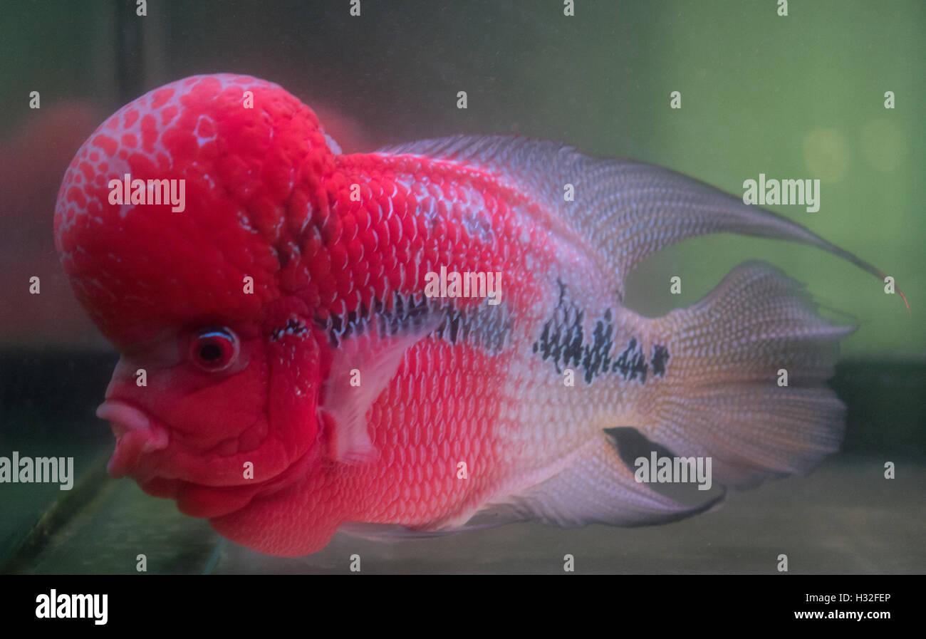 Flower Horn Fish Stock Photos & Flower Horn Fish Stock Images - Alamy