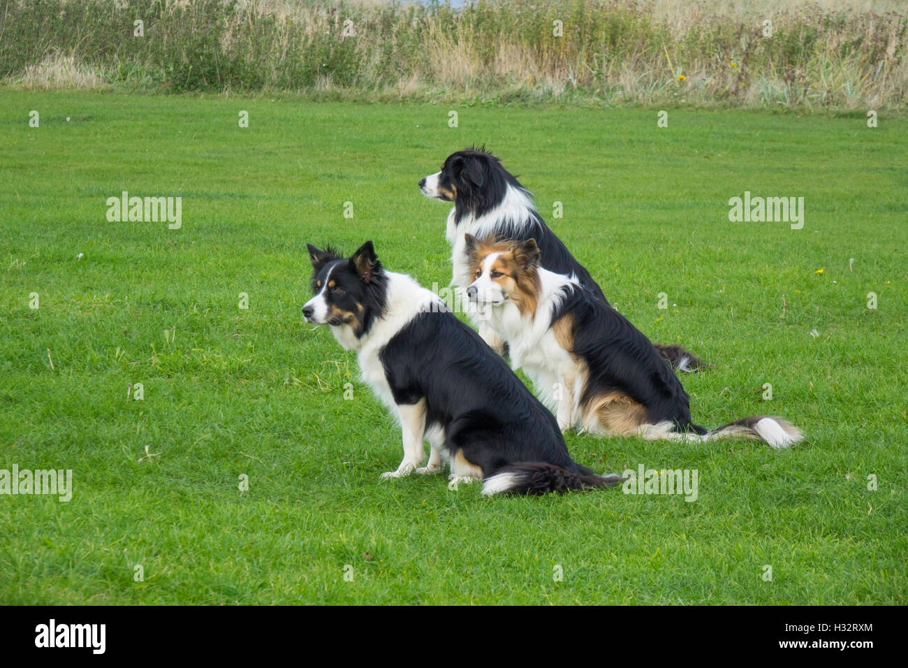 Three Collie dogs in Obedience training sitting and awaiting commands from their trainer - Stock Image
