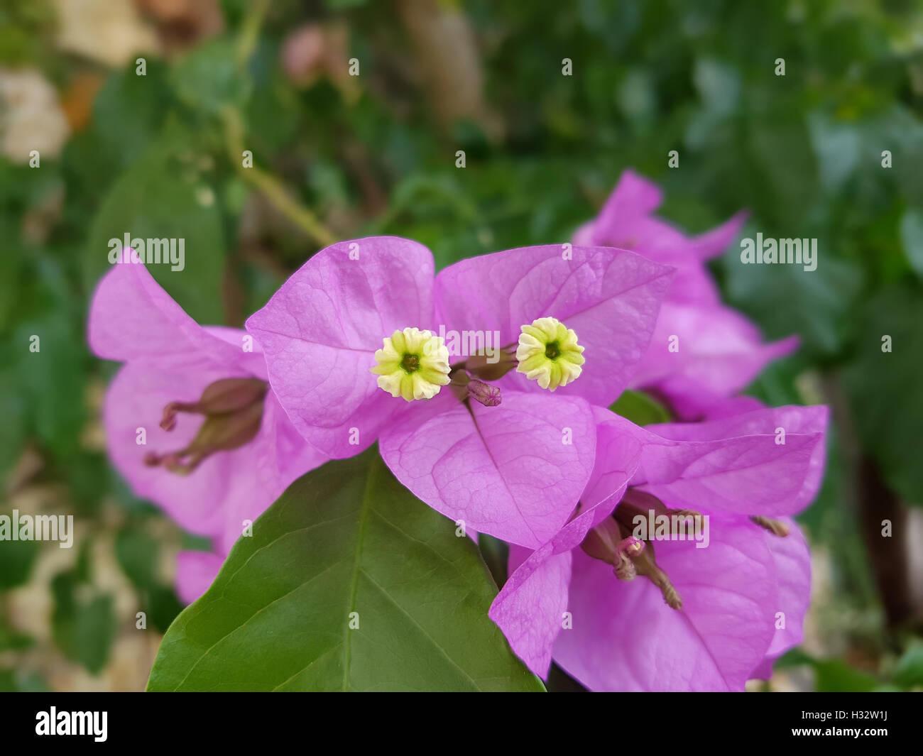 Bougainvillea; Glabra; Spectabilis Stock Photo