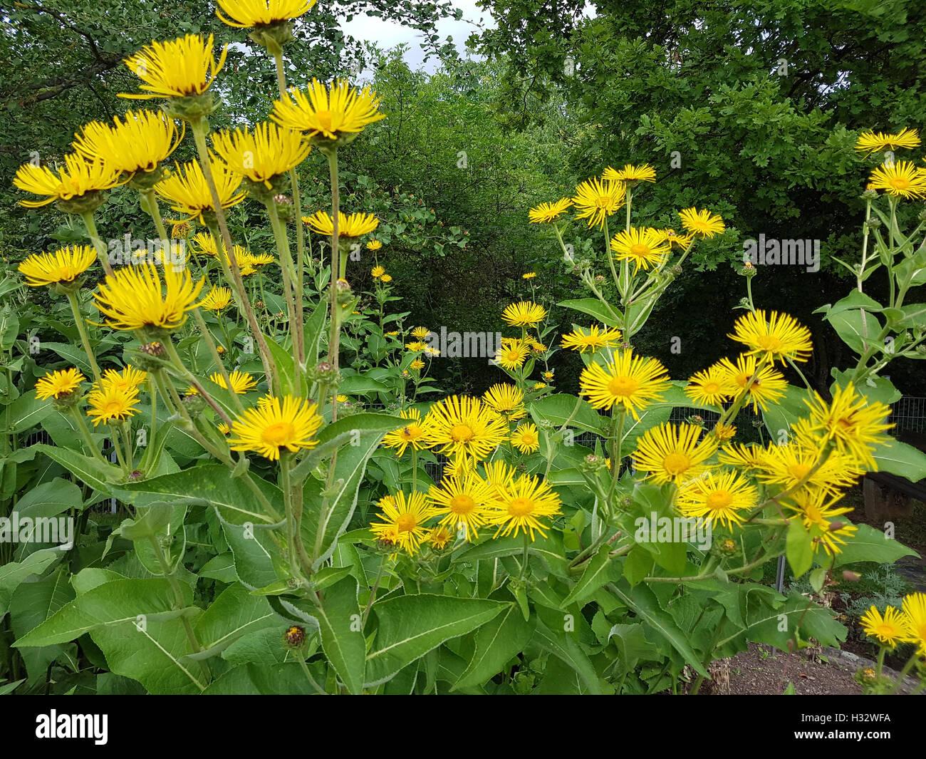 Alant; Bluete; Inula Helenium, Heilpflanze - Stock Image