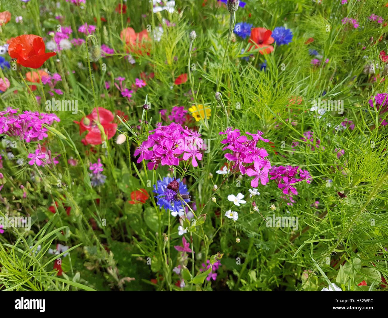 Blumenwiese, Wiesenblumen, Wildblumen Stock Photo