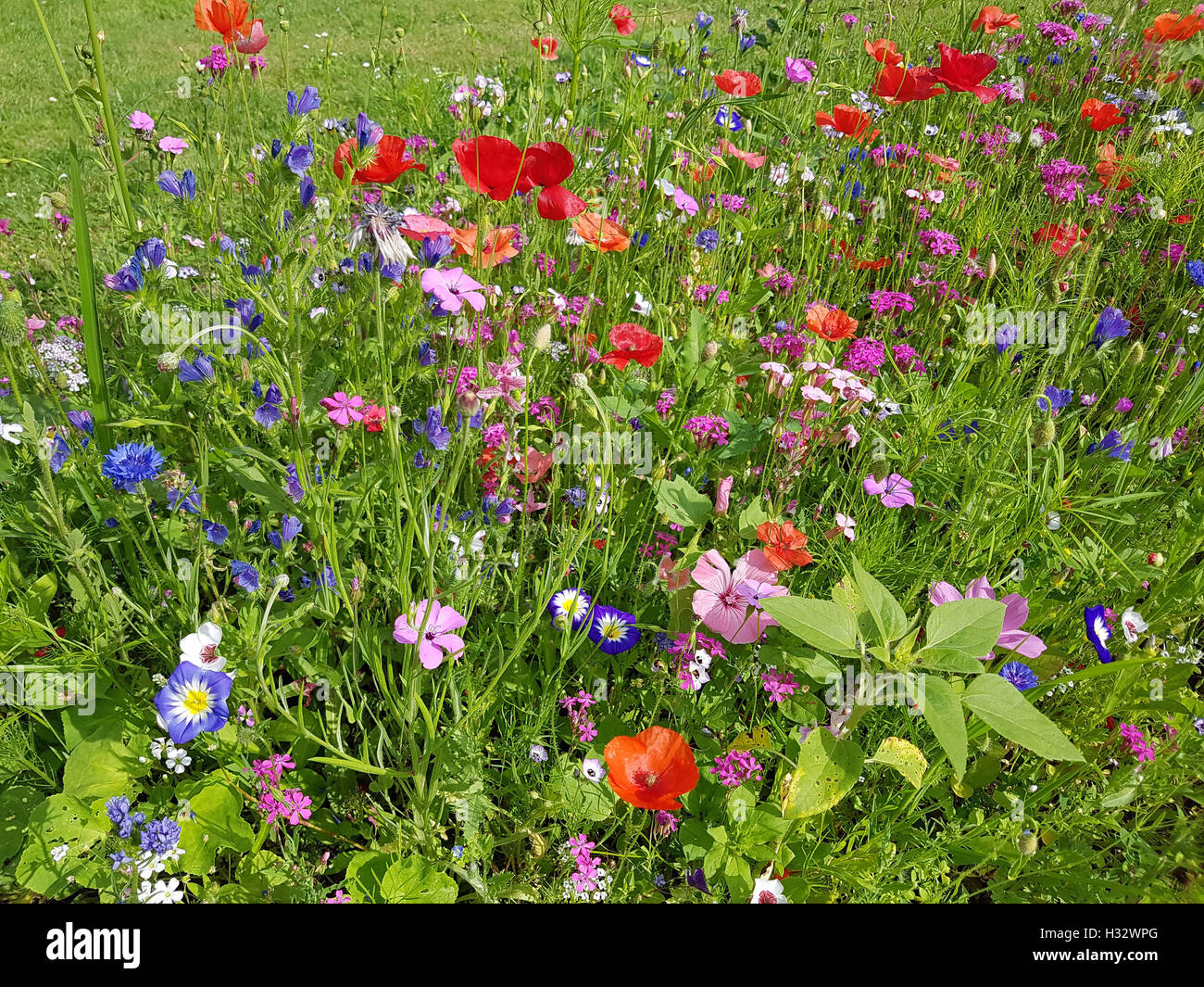 Blumenwiese, Wiesenblumen, Wildblumen Stock Photo