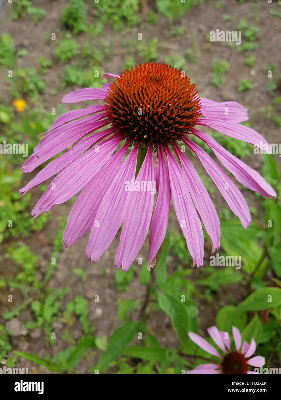 Roter Sonnenhut; Heilpflanze - Stock Image