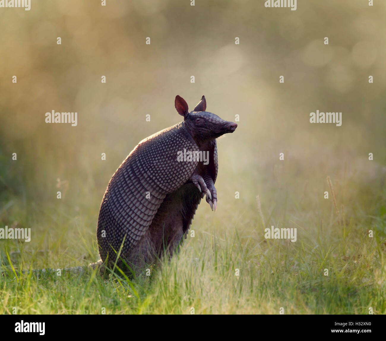 Nine-banded armadillo at sunset - Stock Image
