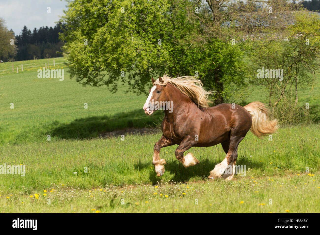 Suddeustche German heavy draft draught horse free - Stock Image