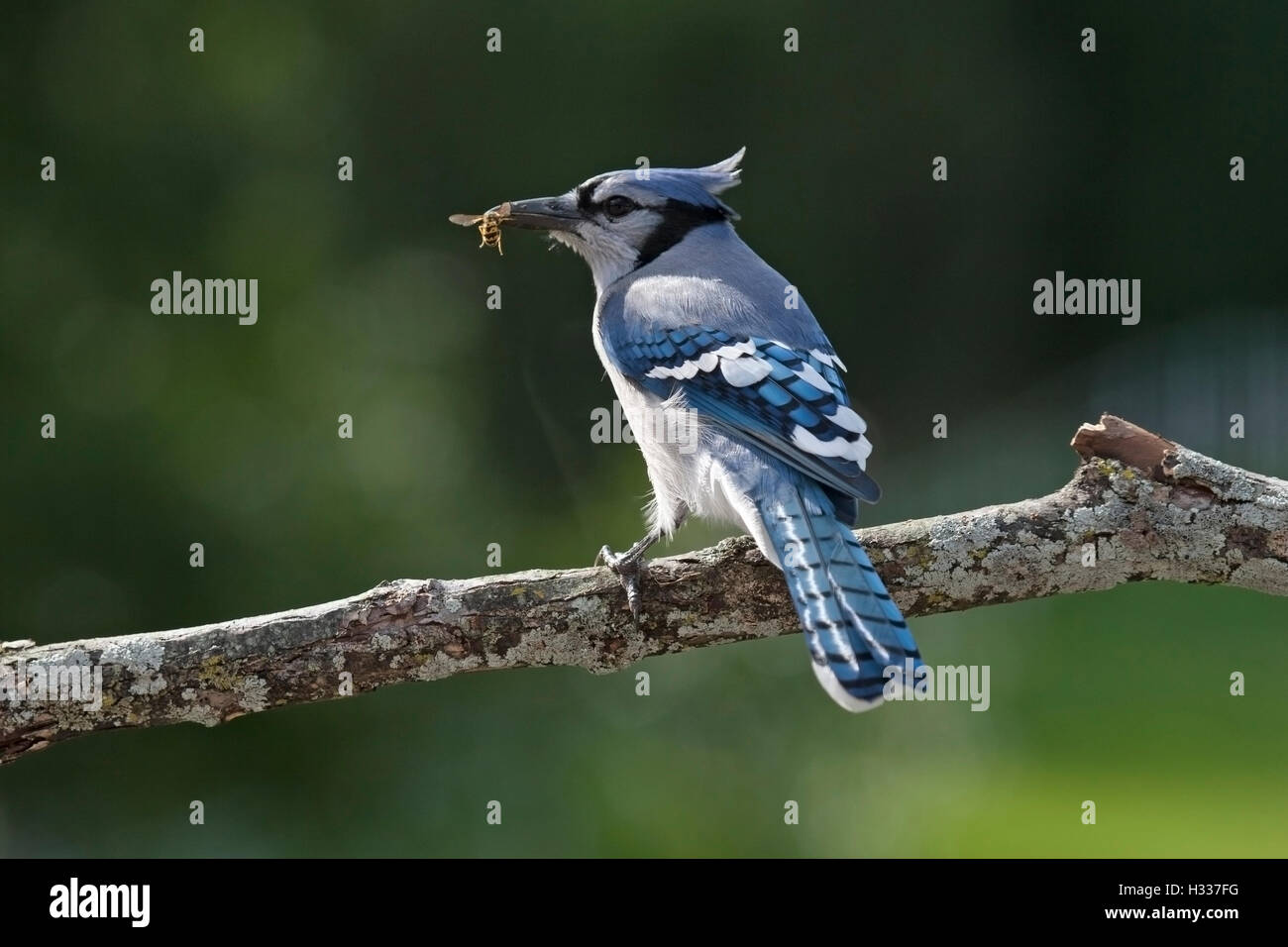 Blue jay with bee in beak perching on branch Stock Photo
