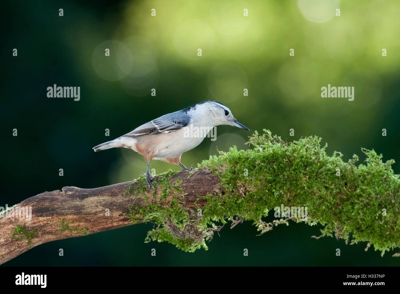 White breasted nuthatch searches for food on moss covered branch - Stock Image