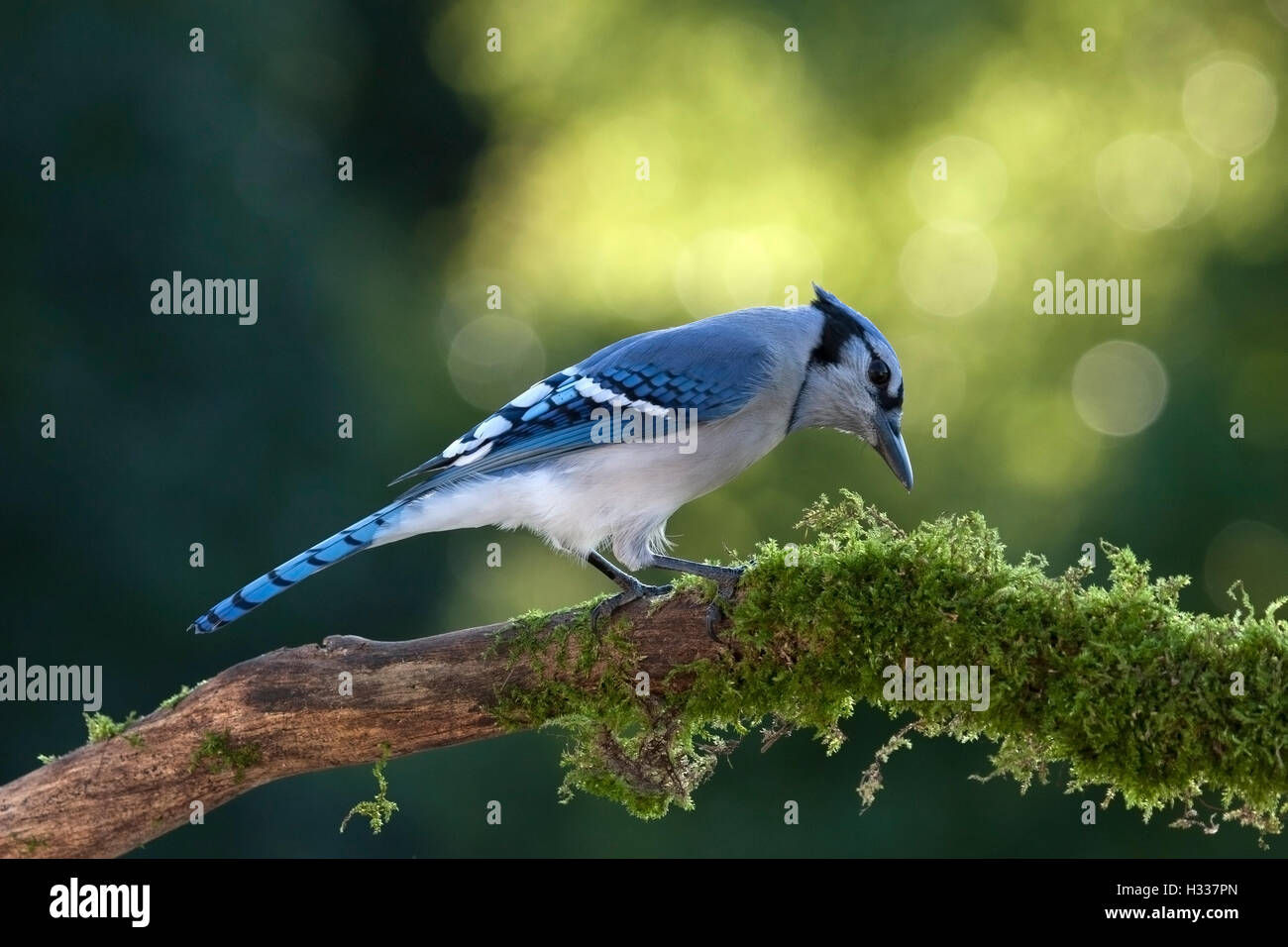 Blue jay perched on moss covered branch searches for food Stock Photo