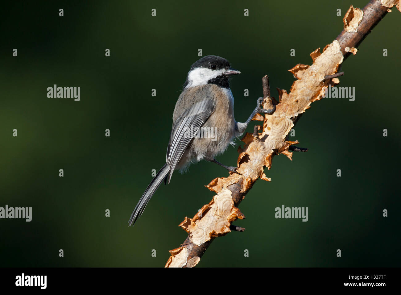 Chickadee perching on branch - Stock Image
