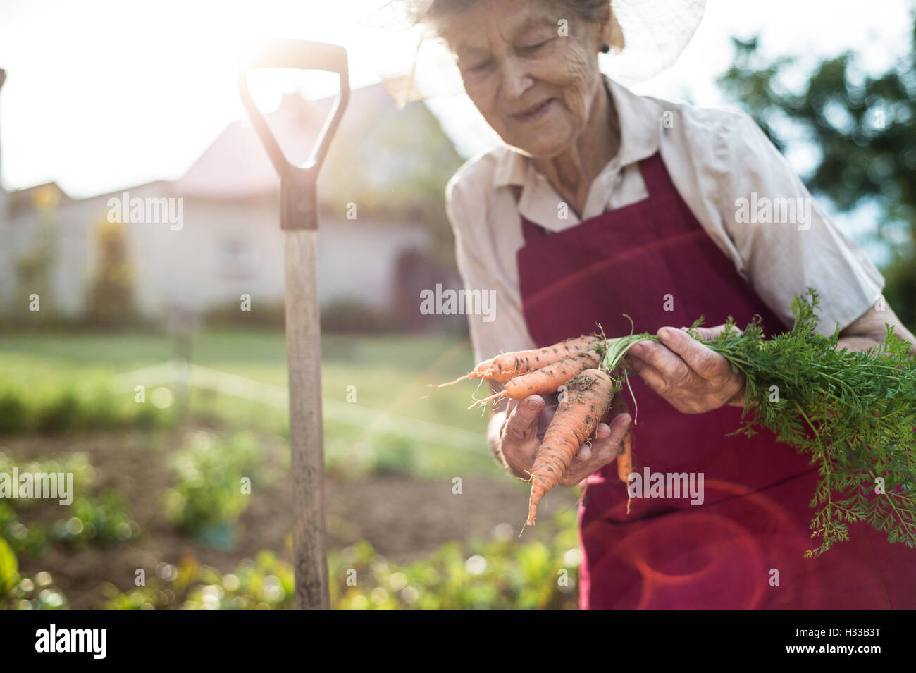Senior woman in her garden holding carrots. Sunny nature. - Stock Image