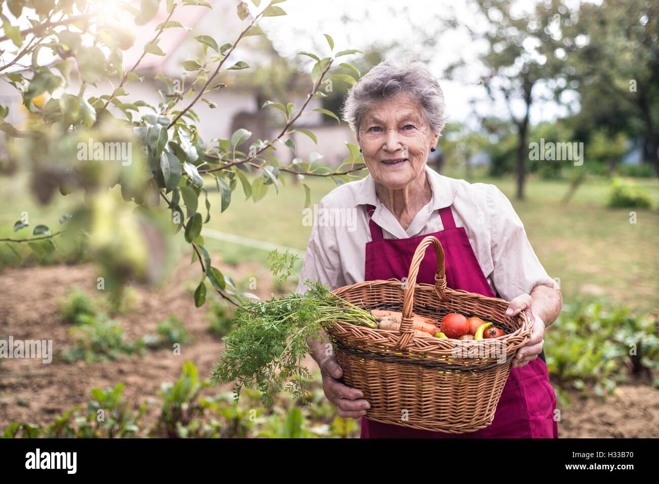 Senior woman in her garden harvesting vegetables. Summer garden. Stock Photo