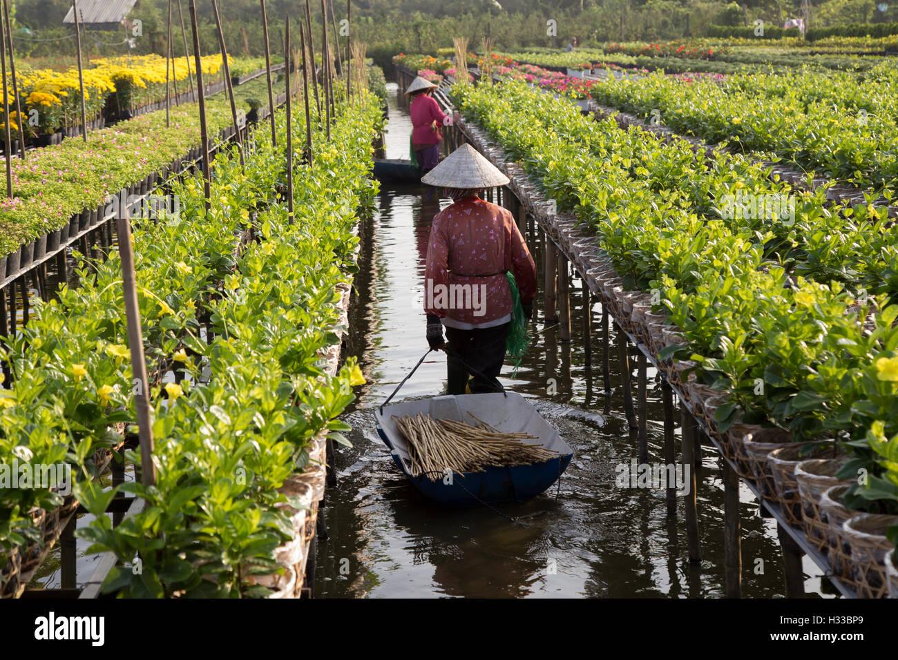 Harvesting flower in Vietnam during Holidays - Stock Image