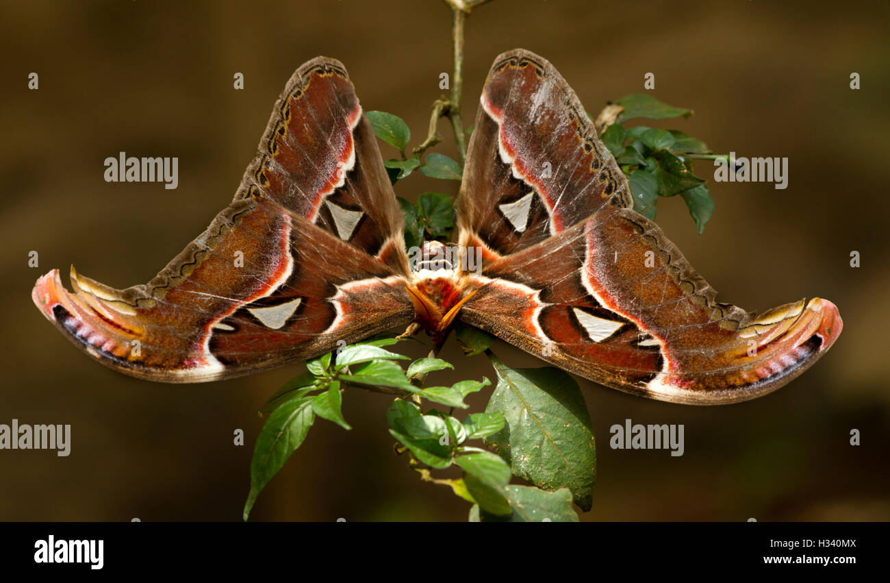 Beautiful big butterfly, Giant Atlas Moth, Attacus atlas, insect in green nature habitat, India, Asia - Stock Image