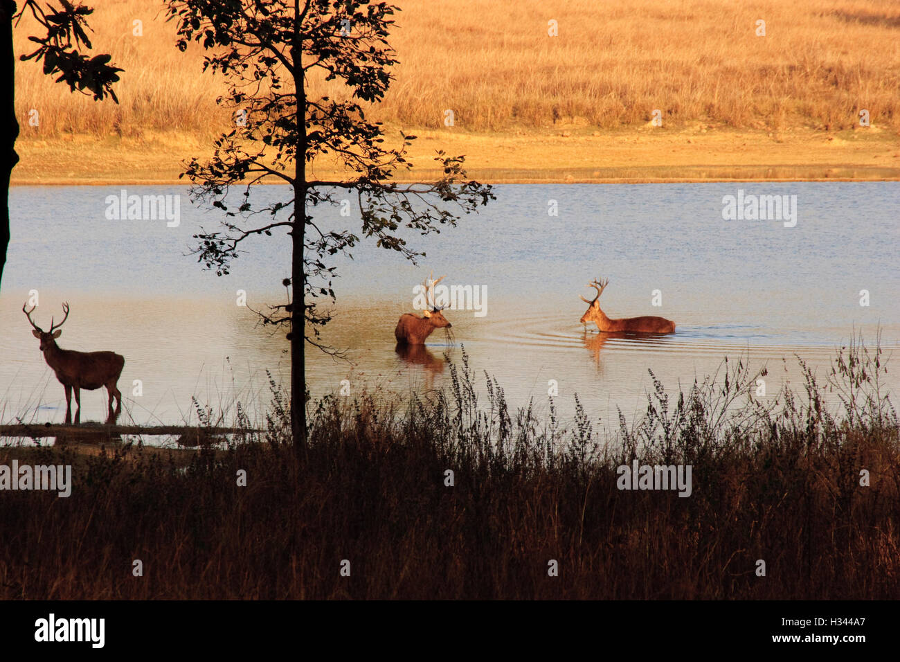 Indian Sambar Deer grazing in water hole in Bandhavbahr National Park of India.  These deer forage in lake water - Stock Image