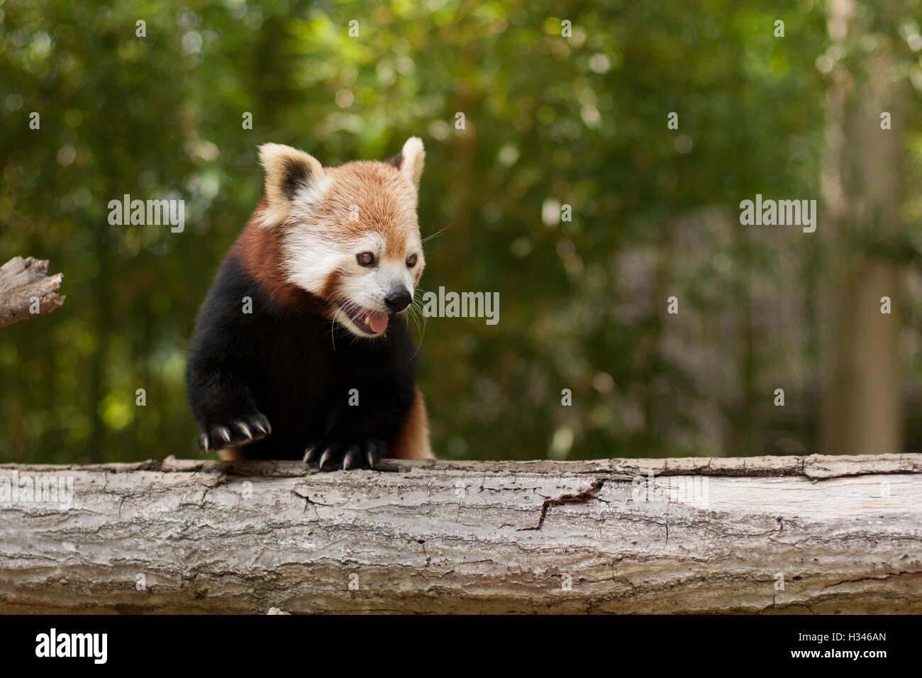 Panda Bear Usa Stock Photos & Panda Bear Usa Stock Images - Alamy