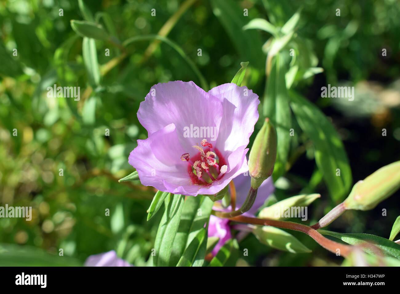 Clarkia amoena, also known as Farewell to spring or Godetia - Stock Image