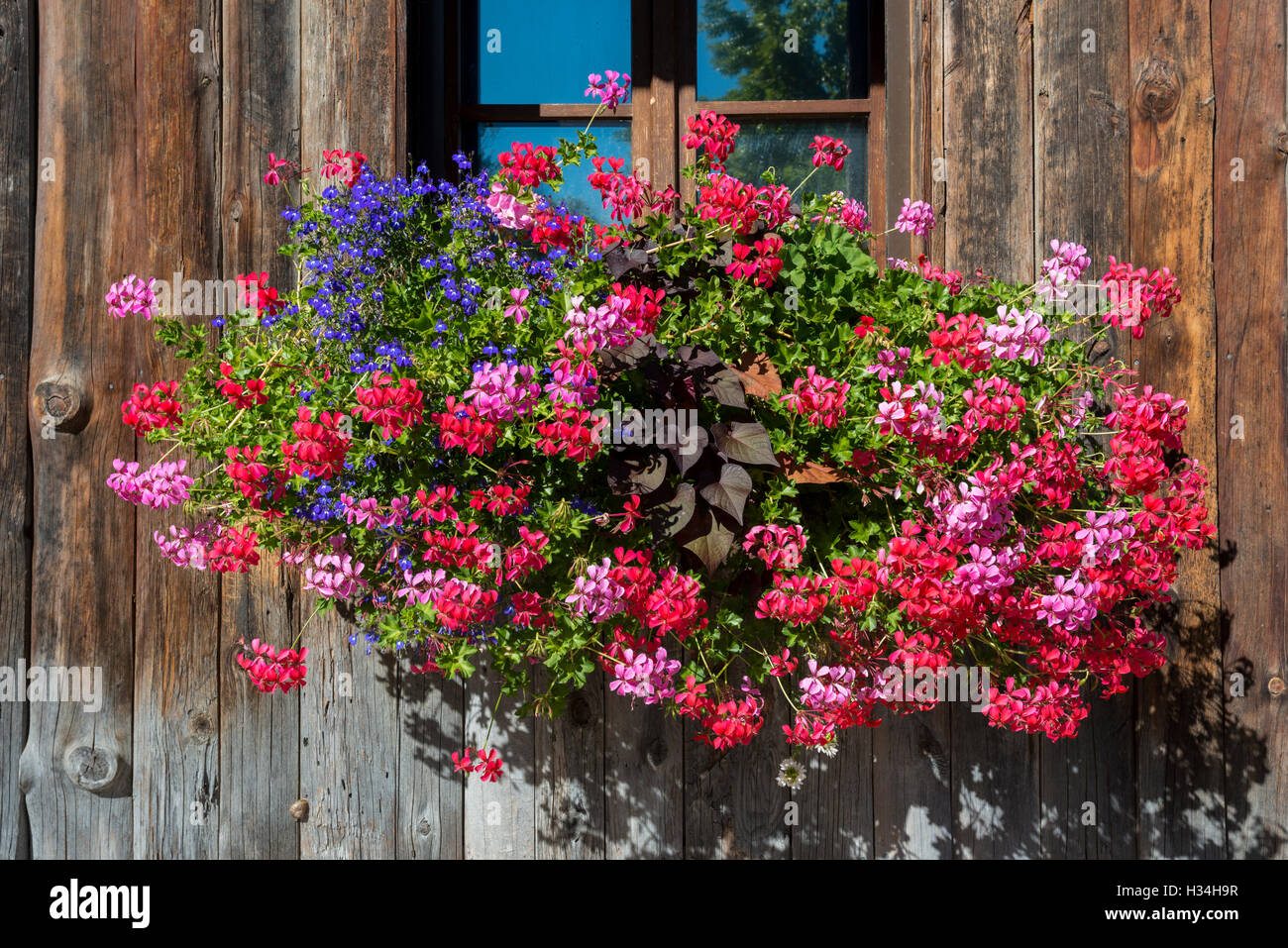 Window with flower box, wooden wall, medieval historic village of Yvoire, Haute-Savoie, France - Stock Image