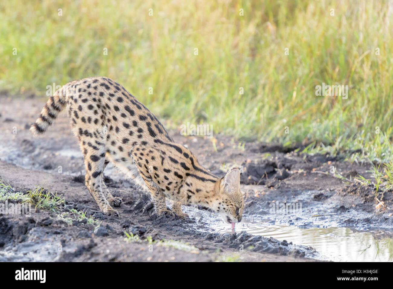 Serval (Leptailurus serval, Felis serval), drinking water in early morning light, Masai Mara National Park, Kenya. Stock Photo