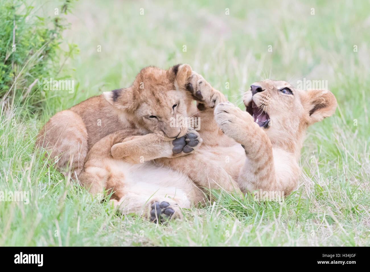 Young lion cubs (Panthera leo) playing together, Maasai Mara national reserve, Kenya - Stock Image