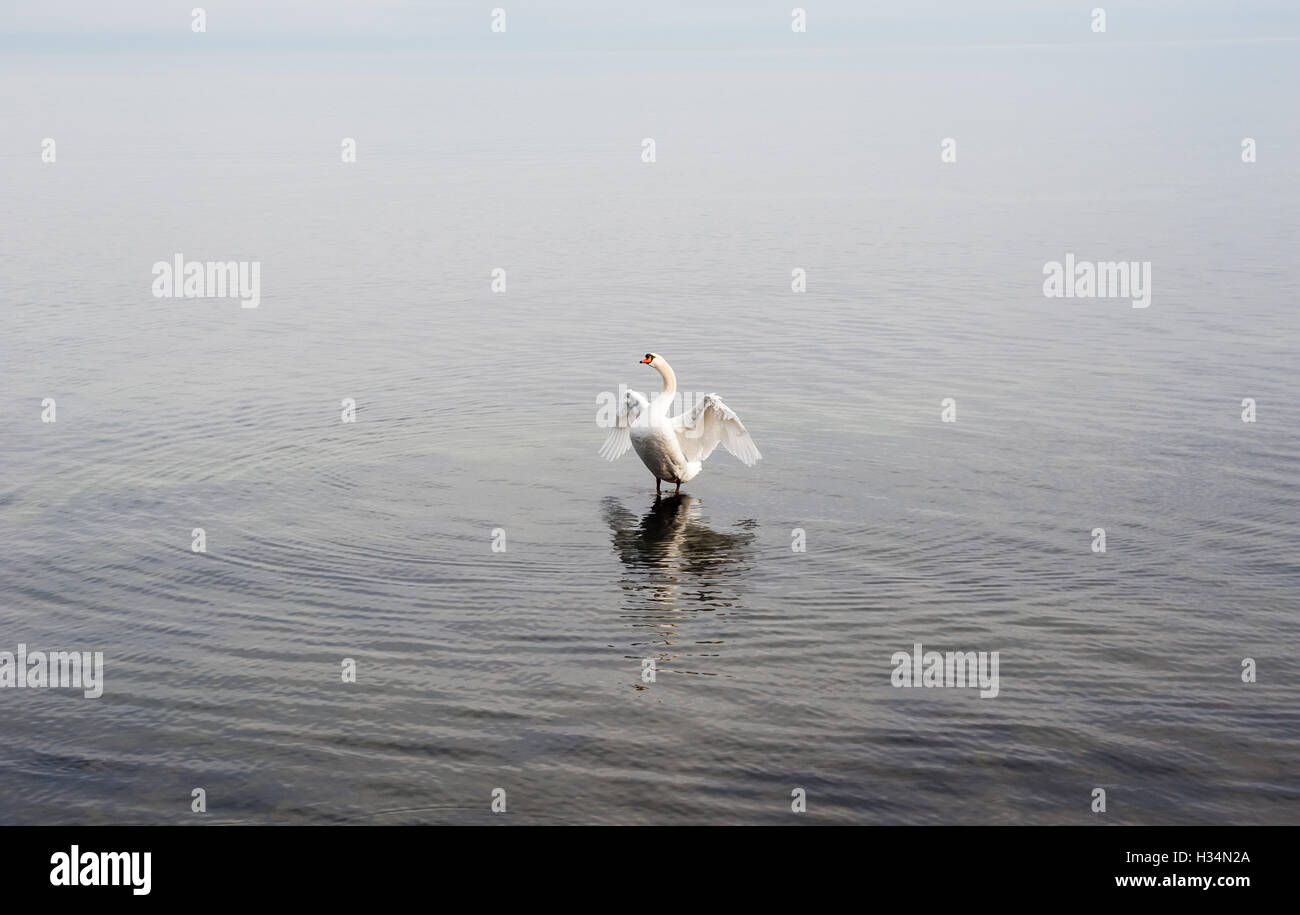 Single white mute swan opening wings and looking up while standing in empty rippled water. - Stock Image
